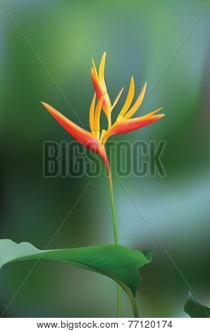 Bird of Paradise Flower (Vector)