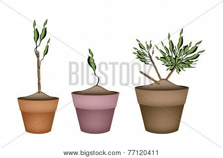 Yucca Tree and Dracaena Plant in Ceramic Pots