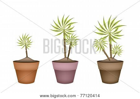 Three Yucca Tree and Dracaena Plant in Ceramic Pots