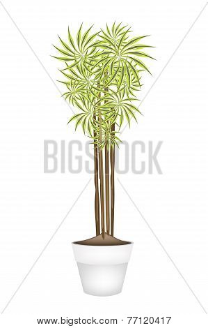 Yucca Tree and Dracaena Plant in Ceramic Pot