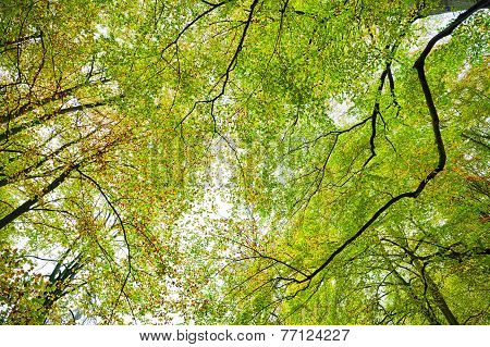 Autumn Beech Forest Treetop Background