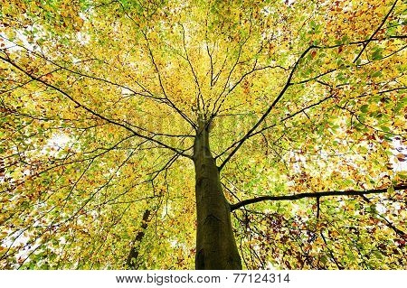 Beautiful Treetop Of An Autumn Beech Tree