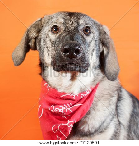 Gray Dog In The Red Bandana Sitting On Orange