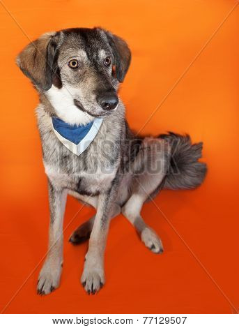 Gray Dog In Blue Bandana Sitting On Orange