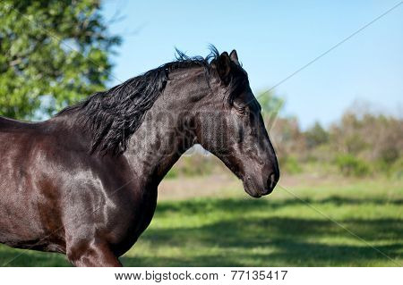 The black horse runs trot against a blurred background of green field. Close-up portrait