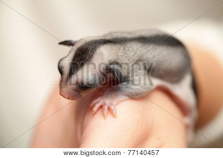 Arboreal Gliding Possum Lays On The Hand