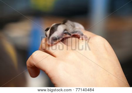 Arboreal Gliding Possum On The Hand