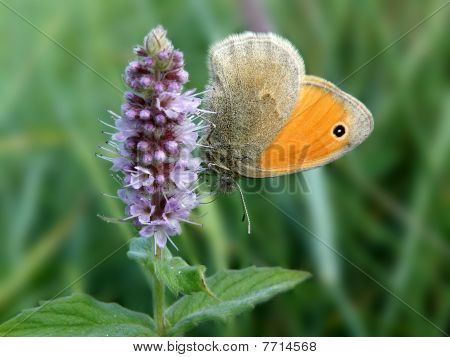 Small Heath Coenonympha pamphilus