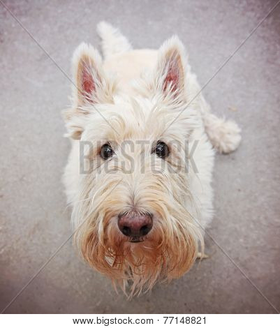 a cute white scottie sitting on the ground looking at the camera