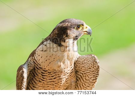 Portrait Of The Fastest Wild Bird Of Prey Falcon Or Hawk