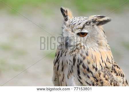 Night Silent Hunter Horned Owl With Ear-tufts