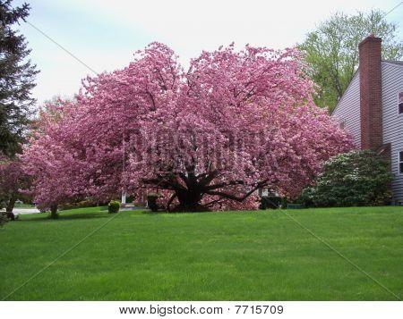 Kwanzan Cherry Tree in Bloom 4-12-10 - 08