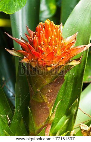 The Bromeliads Ornamental Plant