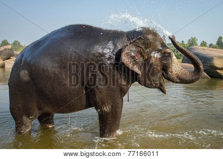 Lakshmi, the temple elephant takes her daily bath in the river. Hampi, India