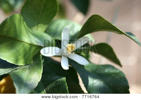 Stock Image Of  Lemon Tree Flower