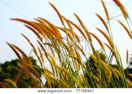 grasses in the windward