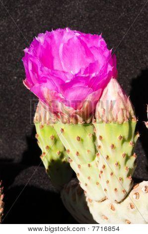 Beavertail Cactus Blüten