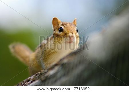 Wild animails in Canada - Chipmunk