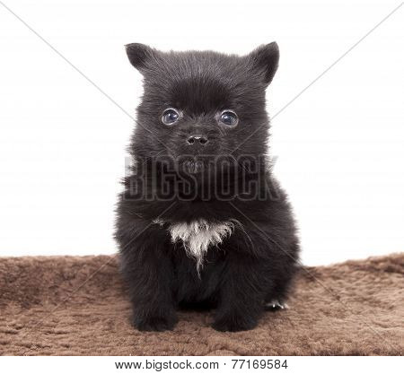 German Spitz Puppy On A White Background  .
