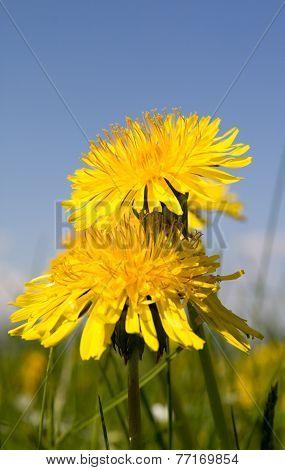 Yellow dandelion
