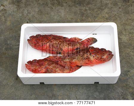 Fresh Mediterranean Scorpionfish