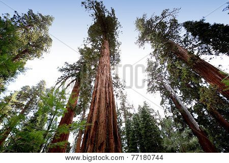 Sequoias at Mariposa Grove, Yosemite national park