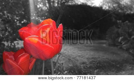 Tulips And Flowers In A Garden With A Bokeh