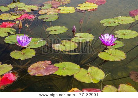 Beautiful Photo Of Lilac Lotus .