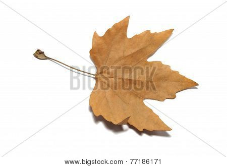 Autumnal Maple Leaf