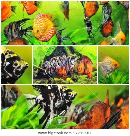 Pterophyllum Scalare e Discus