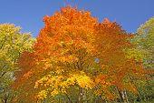 picture of backbone  - Orange and Yellow on an Autumn Tree in Backbone State Park in Iowa - JPG