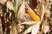 stock photo of maize  - agriculture background of dry maize ear in bright sunlit corn field ready for harvesting - JPG