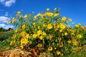 stock photo of lats  - Amazing scene of beautiful nature at Dalat countryside grove of wild sunflower bloom vibrant da quy flower in beauty yellow up to blue sky in winter day a special flower of Da Lat Vietnam - JPG