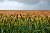 stock photo of production  - field of sorghum - JPG