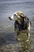 stock photo of mutts  - A mutt in the water at the beach
