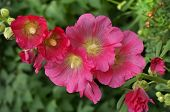 picture of hollyhock  - Beautiful decorating hollyhock flowers  - JPG
