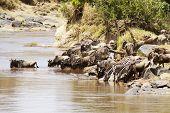 picture of wildebeest  - Wildebeest  - JPG