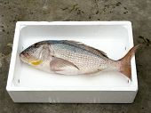 foto of common  - Fresh Mediterranean Common dentex polystyrene and white box - JPG