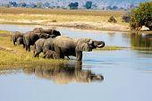 Постер, плакат: Слоны в Чобе Ботсвана