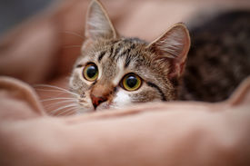 stock photo of vertebrates  - Portrait of the striped guarded cat - JPG