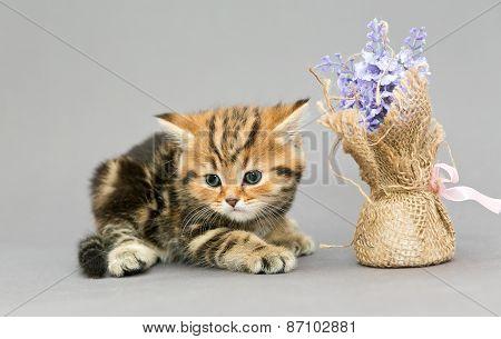 Little British Kitten Marble Colors