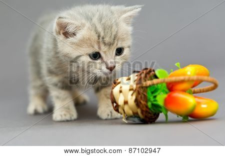 Little British Kitten Marble Colors  And Toy