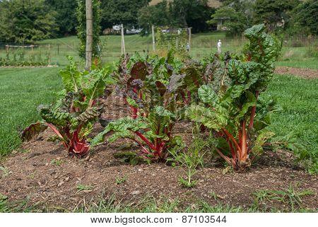 Rainbow Chard Garden