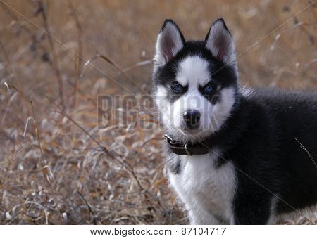 puppy of a dog Siberian Huskies