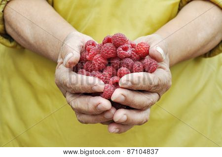 Handful Of The Ripe Raspberry