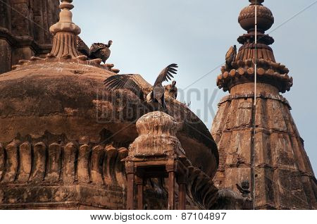 Indian Vultures  On The Roof Of Cenotaphs In Orchha