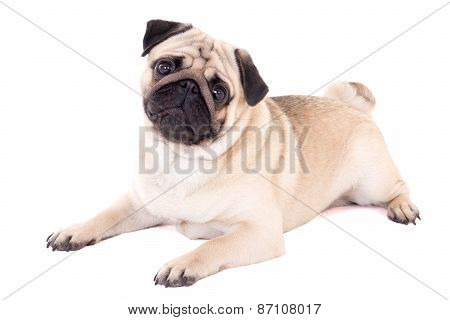 Funny Pug Dog Lying Isolated On White