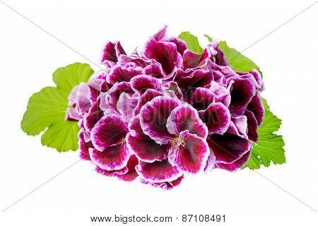 Beautiful Blooming Velvet Purple Geranium Flower With Green Leaves Is Isolated On White Background.