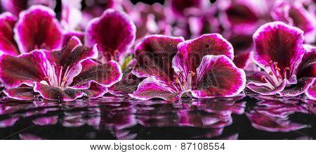 Beautiful Spa Concept Of Geranium Flower In Ripple Reflection Water, Royal Pelargonium, Panorama