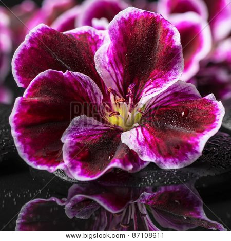 Beautiful Spa Background Of Geranium Flower With Drops In Reflection Water, Royal Pelargonium, Close